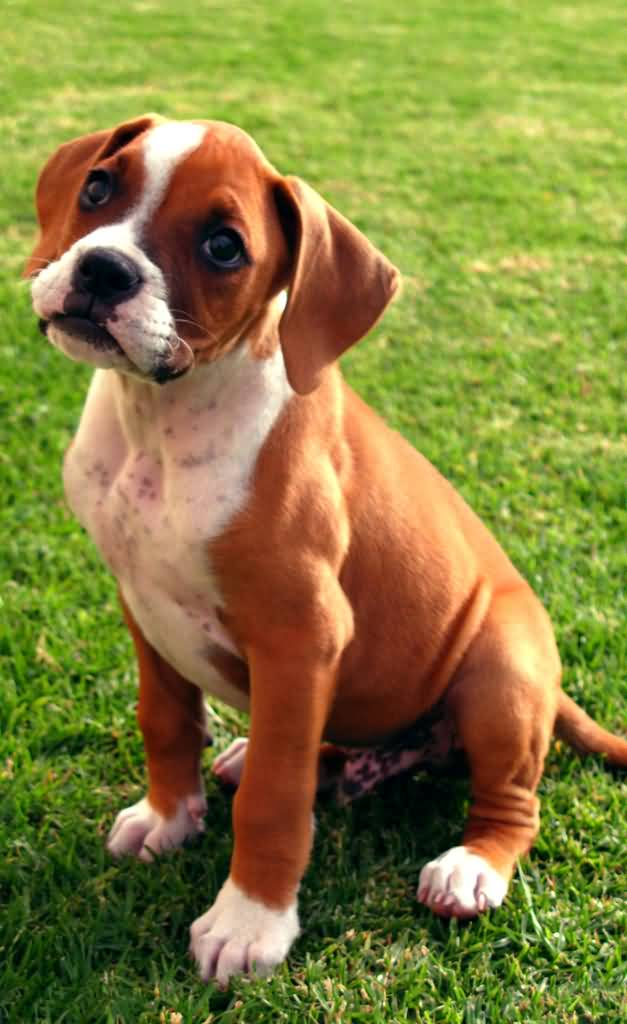 Out Standing Brown Boxer Dog Baby Sitting In Garden