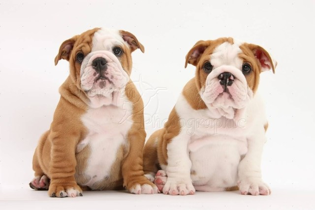 Out Standing Bulldog Puppies Image For Wallpaper