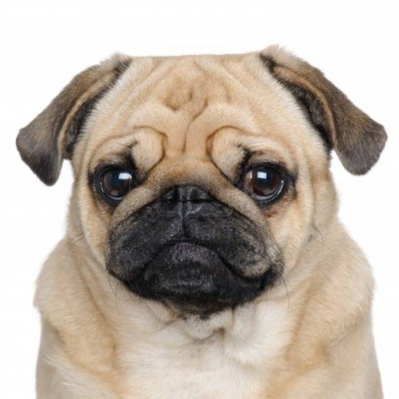 Out Standing Image On Pug Puppy Looking At You