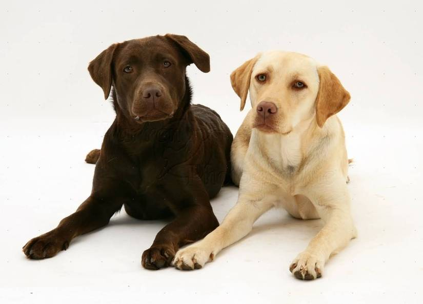 Out Standing Labrador Retriever Dog Photo Sitting On Floor