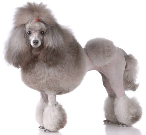 Out Standing Poodle Dog With New Haircut Image For Wallpaper