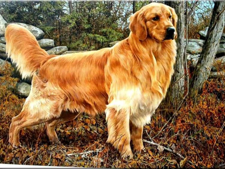 Perfect Golden Retriever Dog In Jungle