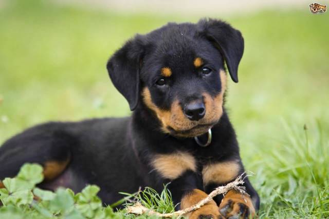 Perfect Rottweiler Dog Pup With Beautiful Background