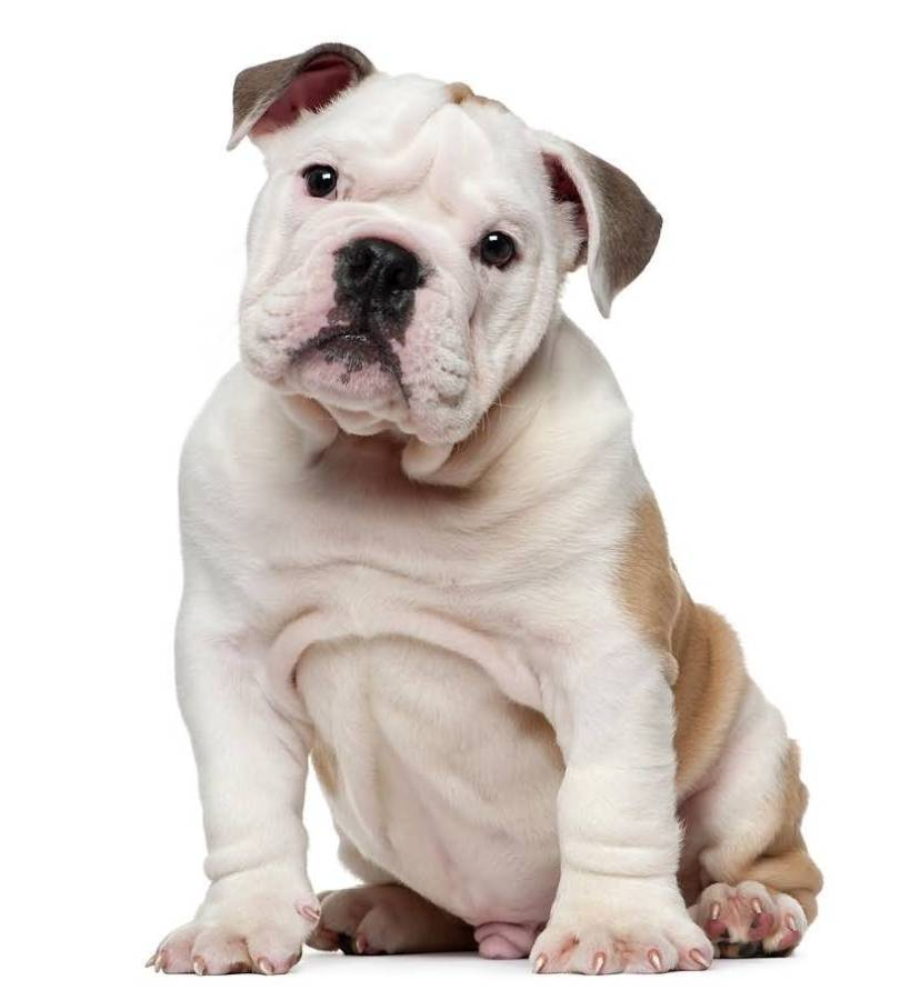 Perfect White And Brown Bulldog Baby Sitting On Floor