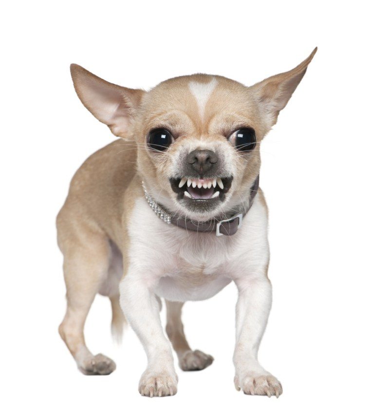 Perfect White Chihuahua Dog With Angry Mood