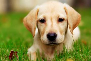 Perfecy Labrador Retriever Dog  With Beautiful Background