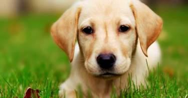 Perfecy Labrador Retriever Dog  With Beautiful Background