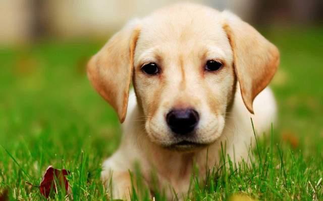 Perfect Labrador Retriever Dog With Beautiful Background
