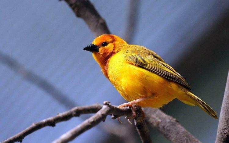 Stunning Yellow Bird Looks Beautiful
