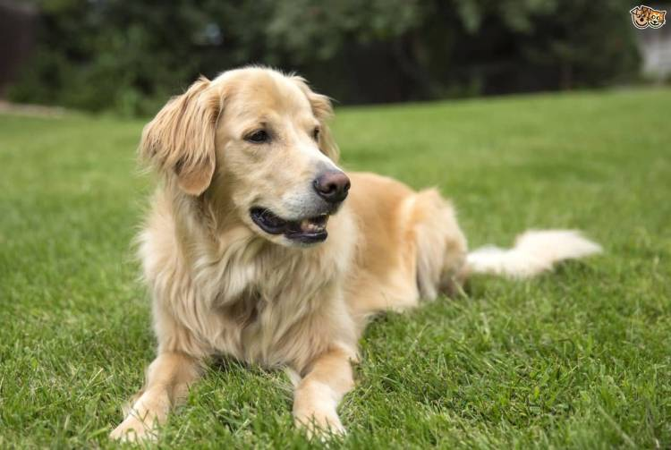 Superb Adult Golden Retriever Dog On Grass With Beautiful Background