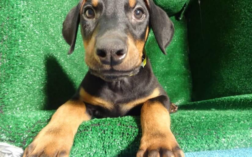 Superb Doberman Pinscher Puppy Photo Sitting On Floor