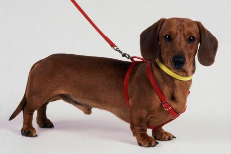 Superb Miniature Dachshund Dog Stand On Floor
