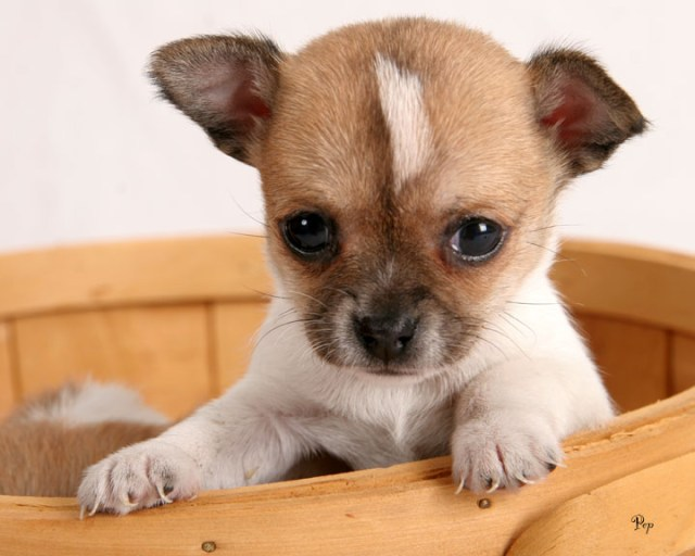 Sweet Chihuahua Dog Baby Image For Wallpaper