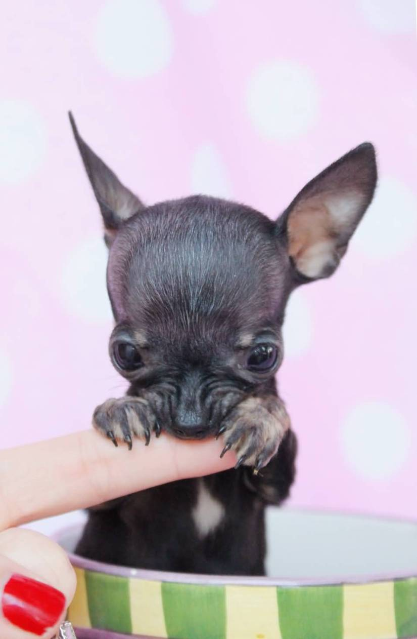 Sweet Chihuahua Dog Teacup For Wallpaper