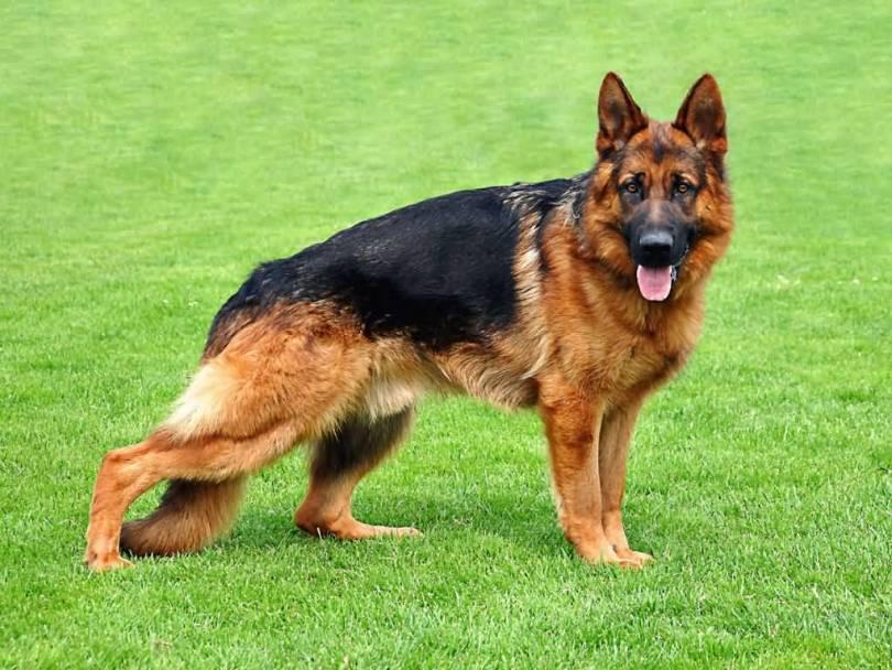 Sweet German Shepherd Dog Standing In Garden
