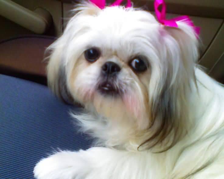 Sweet Shih Tzu Dog Sitting On Car Sofa