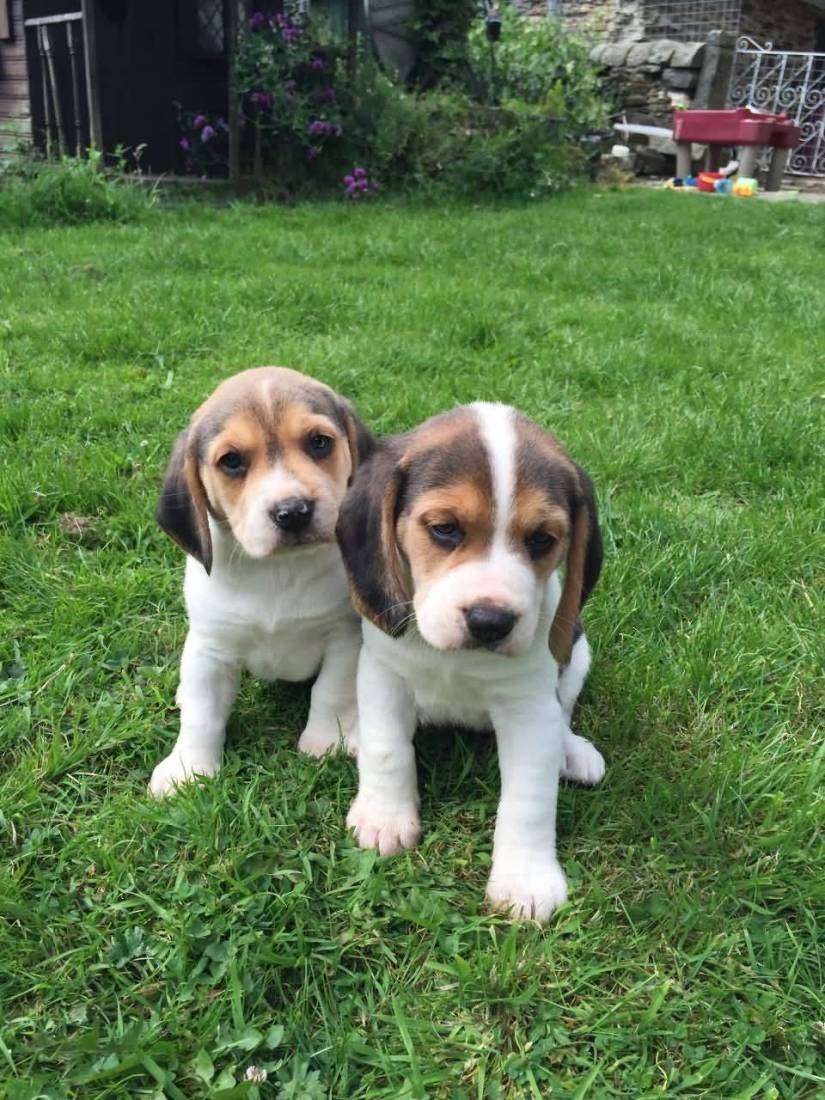 Two Cute Beagle Dog Puppies Sitting On Grass