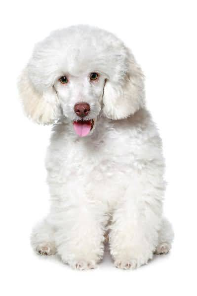 Ultimate White Toy Poodle Dog Sitting On Floor
