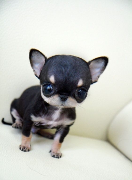 Ultimate Black Chihuahua Dog Sitting With Black Eyes