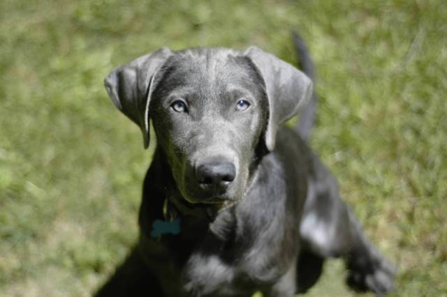 Ultimate Black Labrador Retriever Dog With Beautiful Background