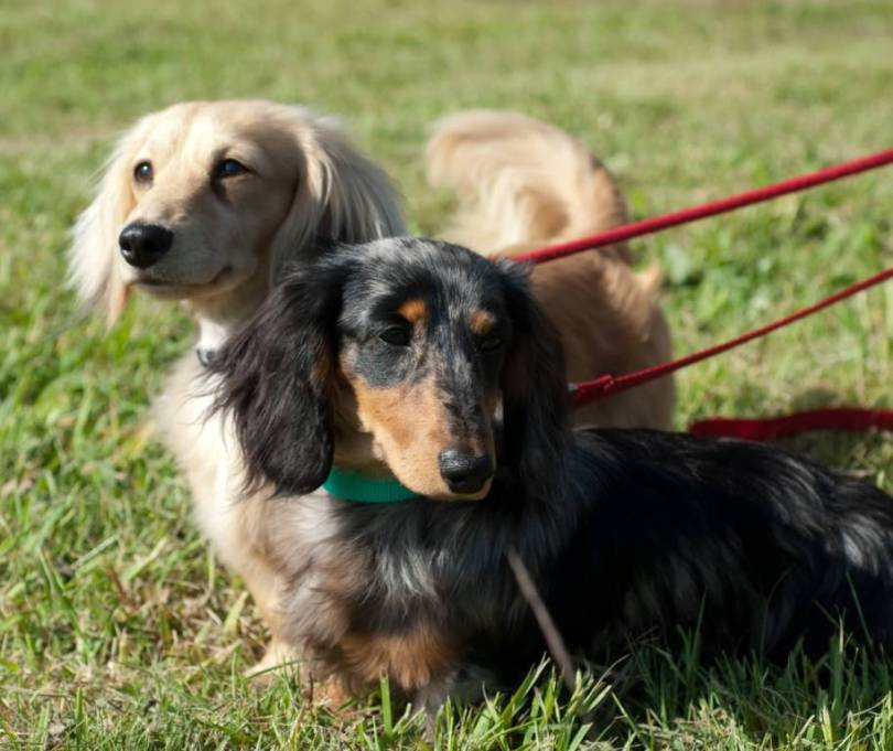 Ultimate Dachshund Dog With Green Background