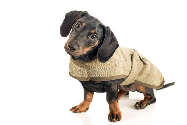 Ultimate Dark Black Dachshund Dog With White Background