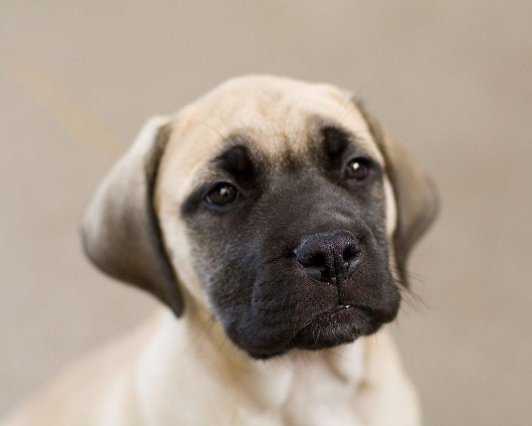 Ultimate English Mastiff Dog Face Photo For Wallpaper