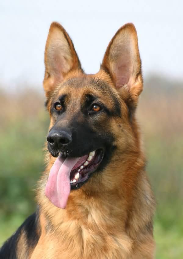 Ultimate German Shepherd Dog With Beautiful Background