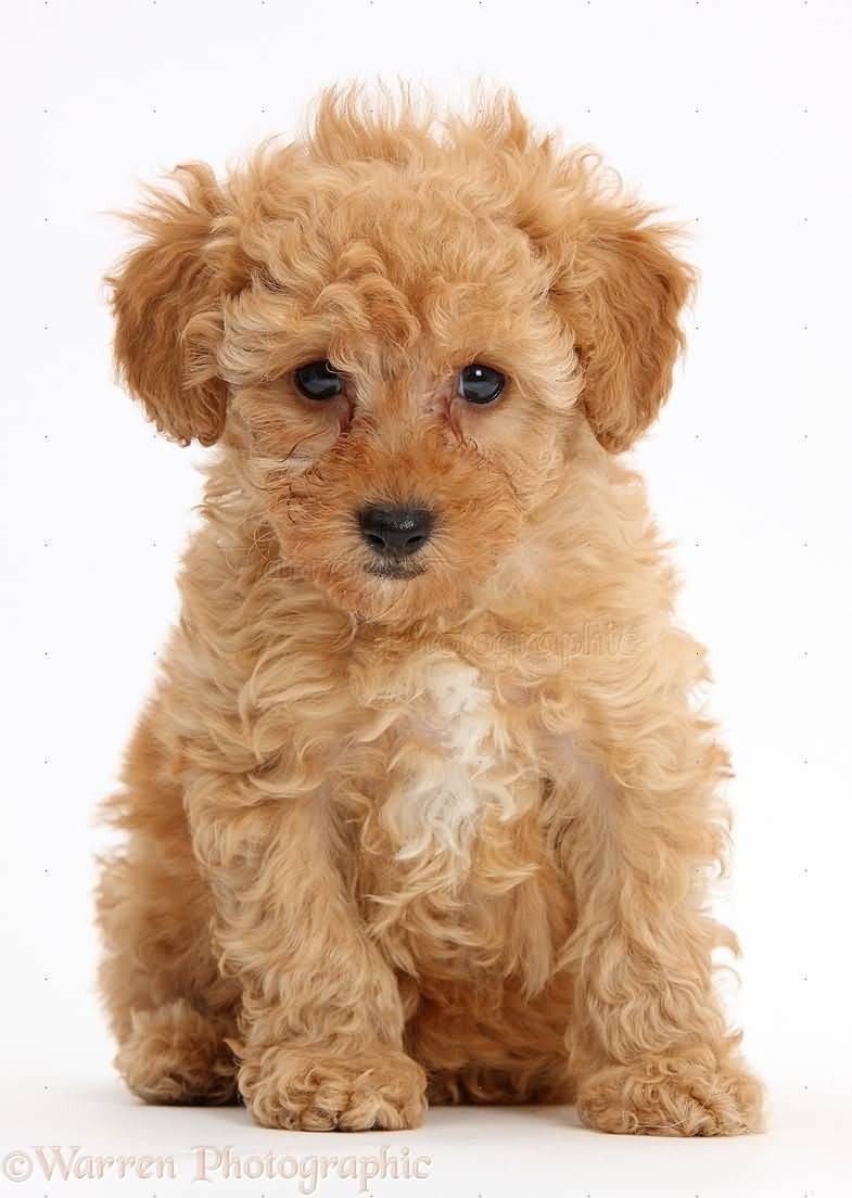 Ultimate Golden Poodle Dog With Beautiful Background
