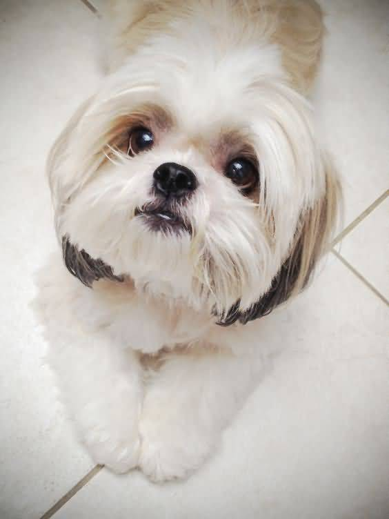 Ultimate White Shih Tzu Dog Looking At You