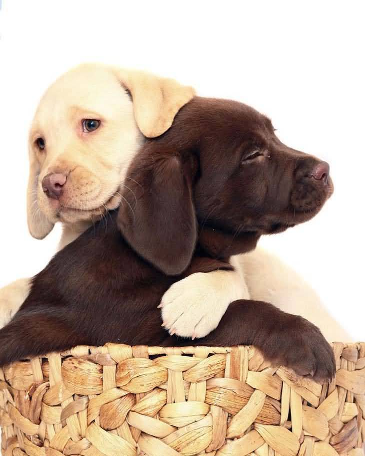 Unique Labrador Retriever Puppies With White Background