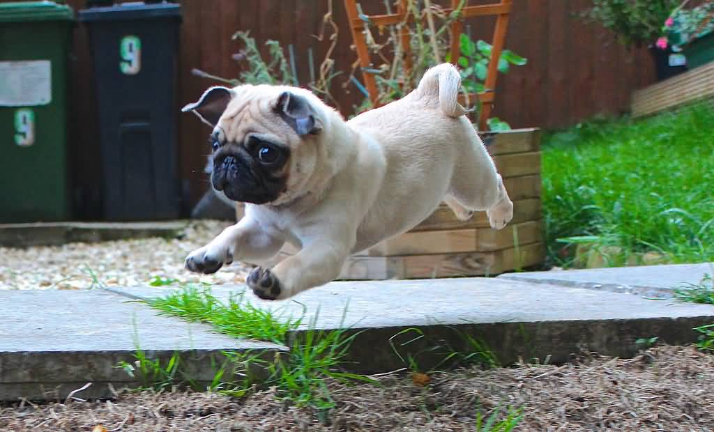 Unique Pug Dog High Jump In Park