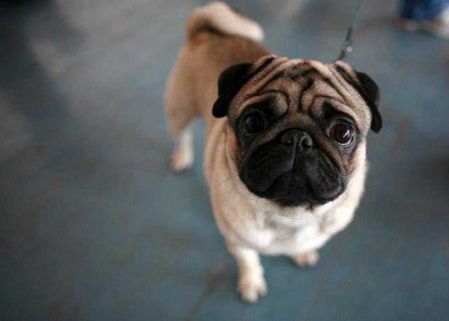Unique Pug Dog Ready For Photos hot