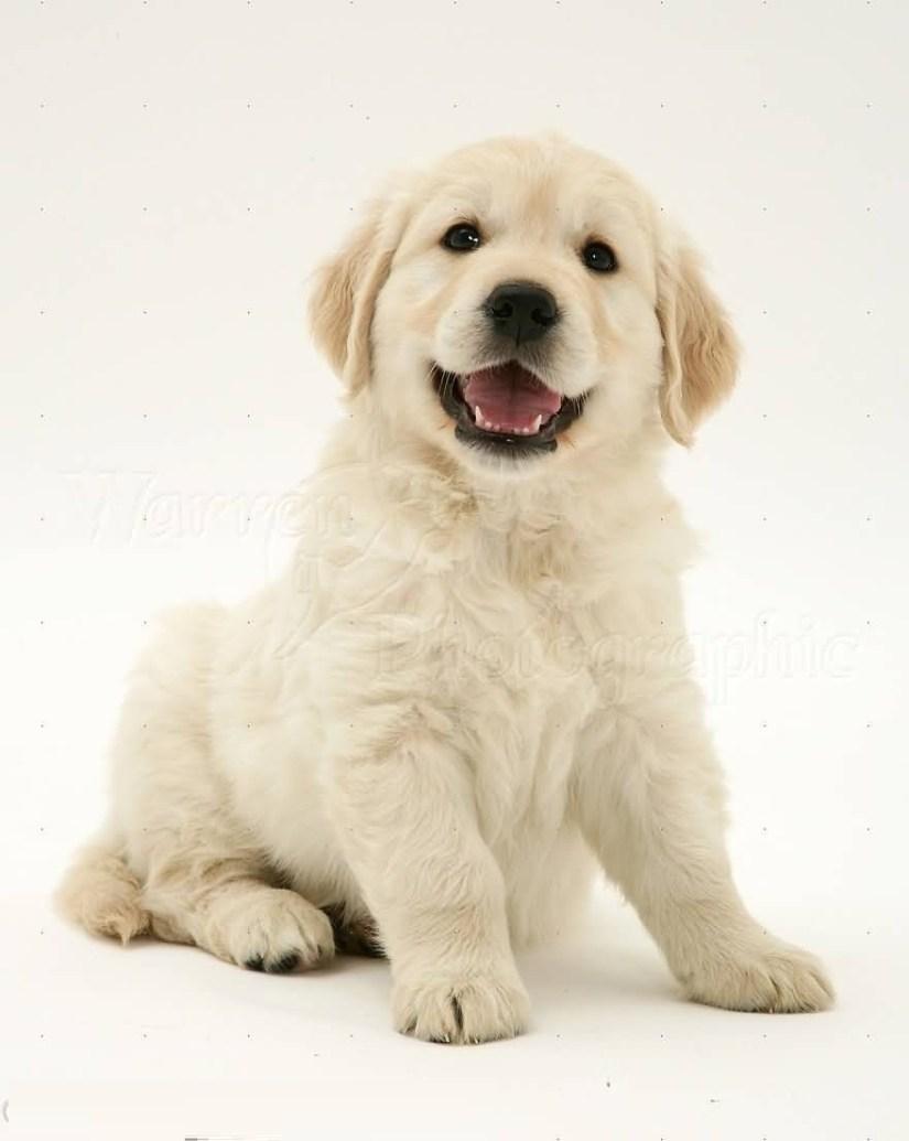 Unique White Golden Retriever Baby Dog With White Background