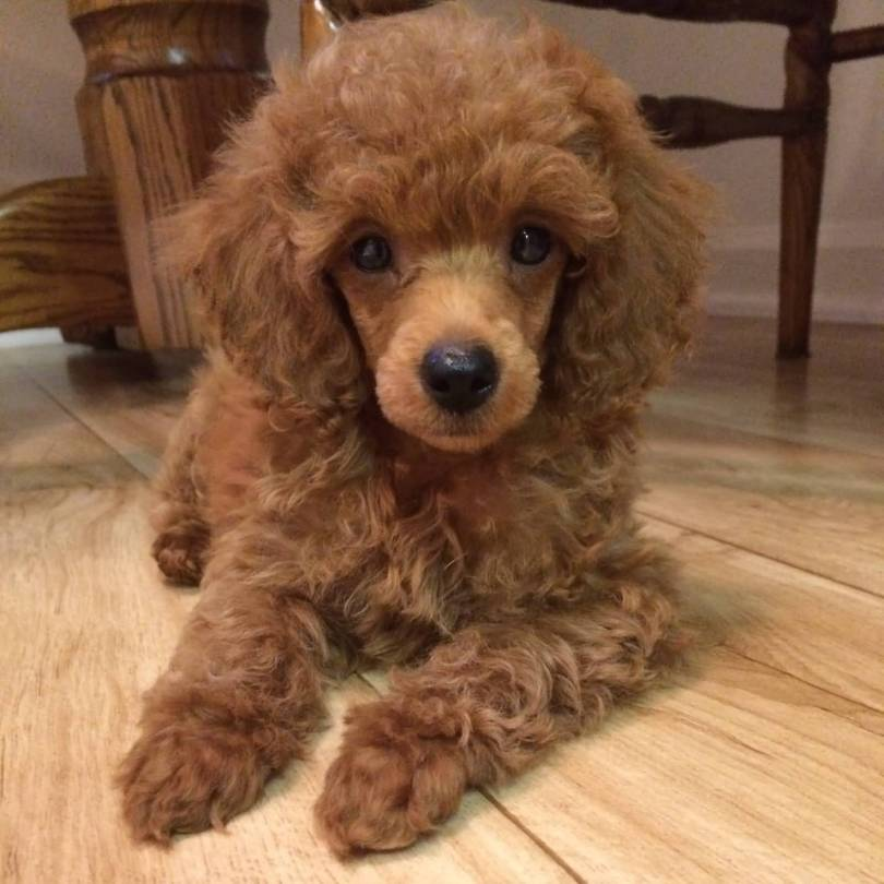 Very Nice Choclaty Poodle Dog Sitting On Floor