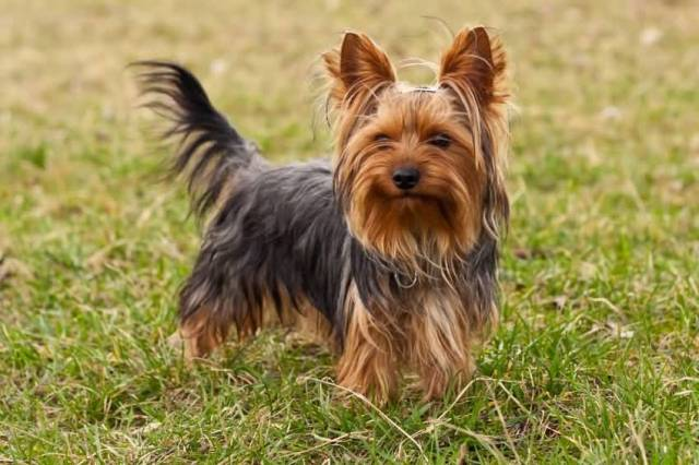 Very Nice Yorkshire Terrier Dog In Garden
