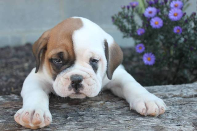 Very Cute Baby White Bulldog With Beautiful Background