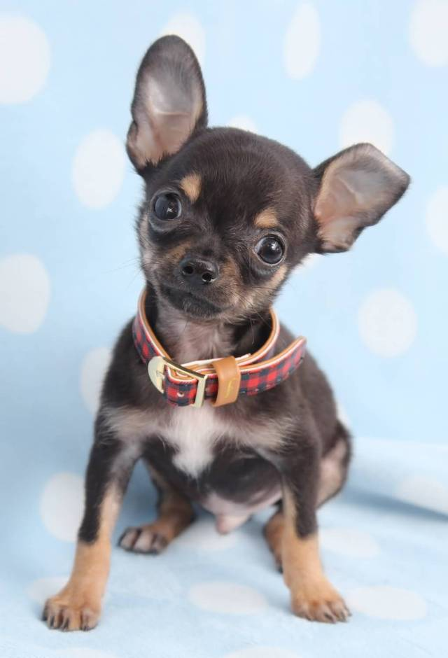 Very Cute Black Chihuahua Dog Face Image For Wallpaper