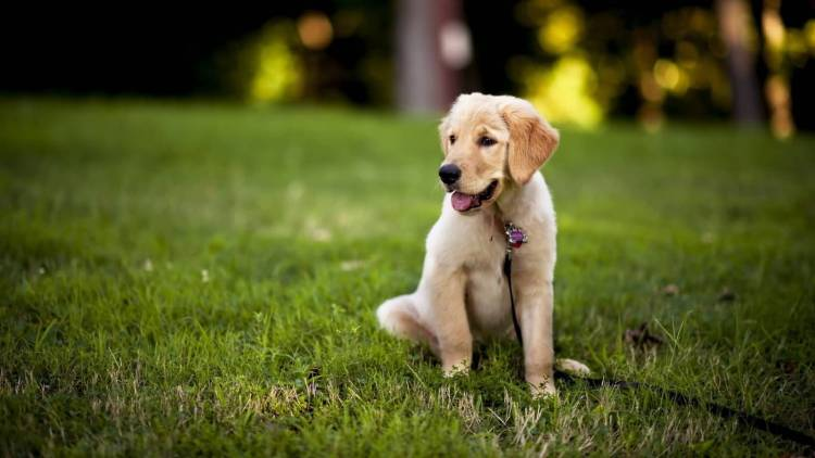 Very Cute Labrador Retriever Dog Pup In Garden