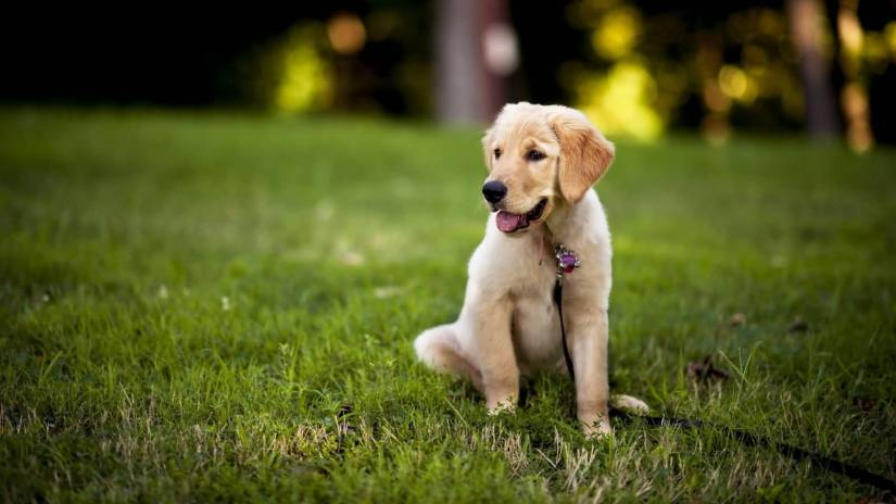 Very Cute Labrador Retriever Dog Pup In Garden