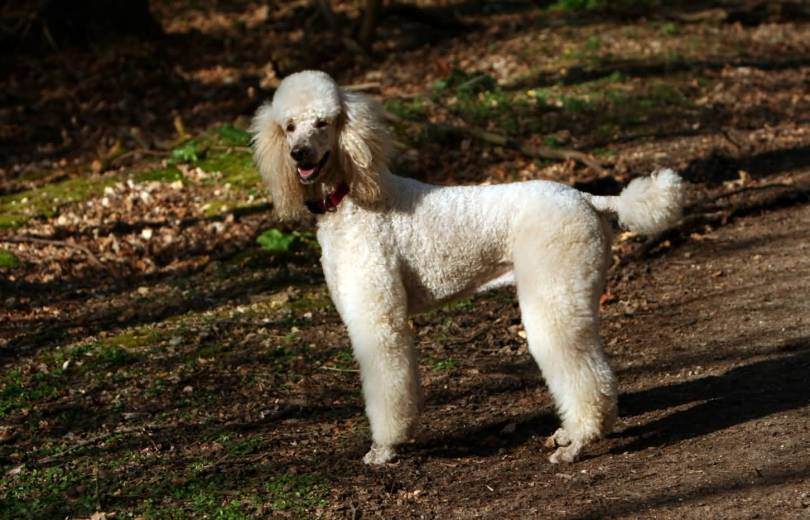 Very Cute White Adult Poodle Dog In Jungle