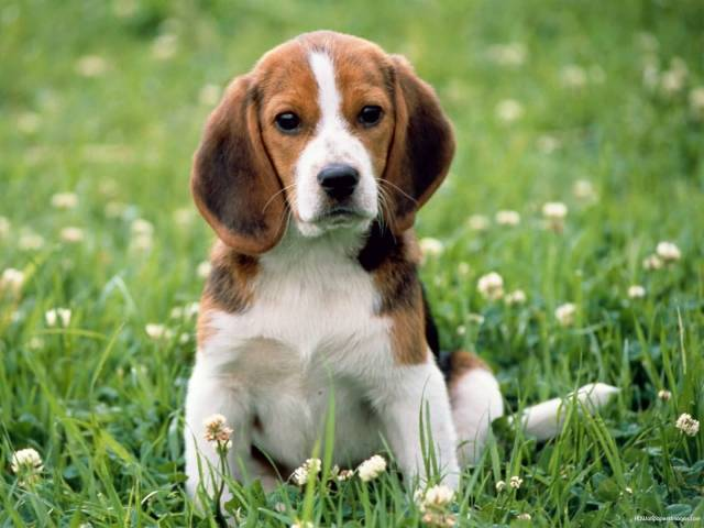 Very Cutest Beagle Dog Sitting In Garden