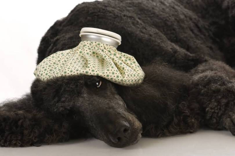 Very Nice Black Sick Poodle Dog Laying On Floor