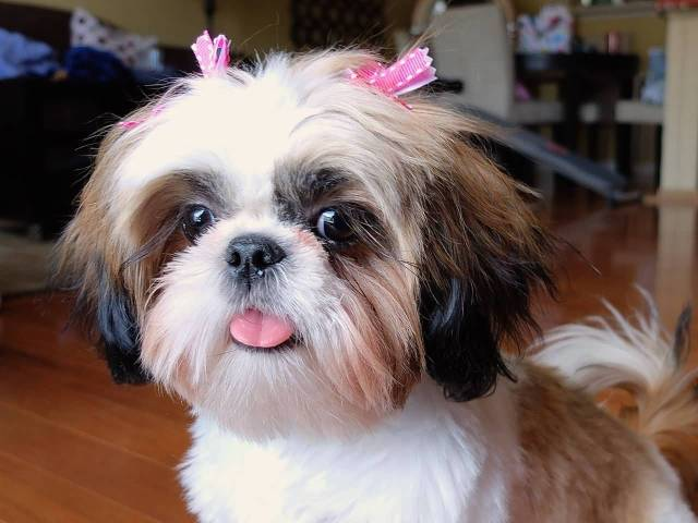 Very Nice Female Shih Tzu Dog In Home