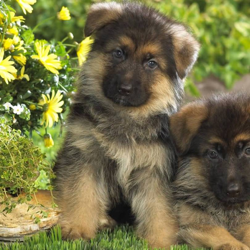 Very Nice German Shepherd Baby Pup Brothers Picture With Beautiful Background