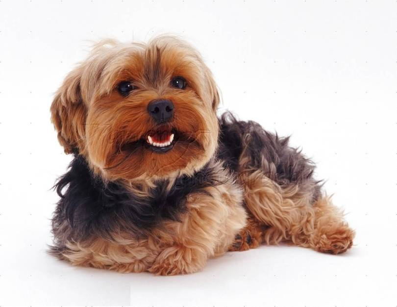 Very Nice Yorkshire Terrier Dog Pup Sitting On Floor