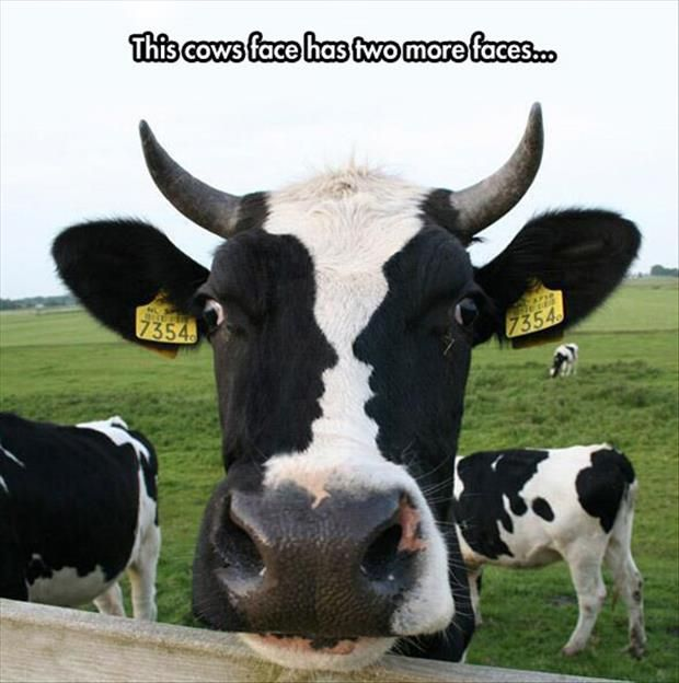 Cow Meme This cows face has two more faces