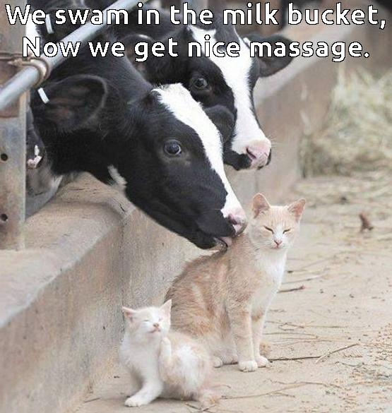 Cow Meme We swam in the milk bucket now we get nice massage