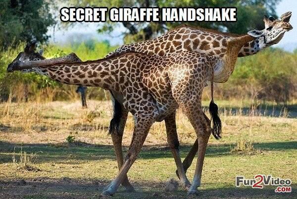Giraffe Meme secret giraffe handshake