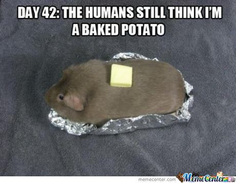 Hamster Memes Day 42 the humans still think I'm a baked potato